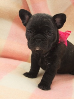 We have a beautiful Brindle French Bulldog girl for sale, She has now got to be re-homed through no fault of her own. Please call for more details.