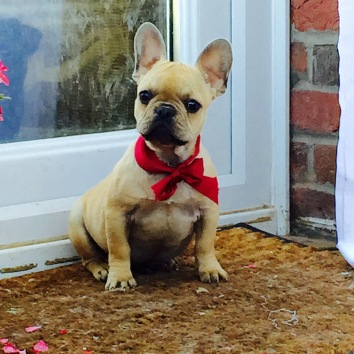 Cream Fawn French Bulldog