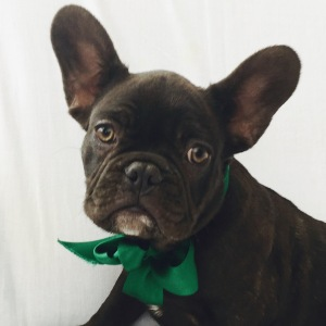 chocolate French bulldog